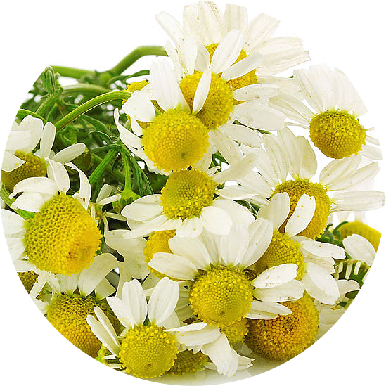 Camomile water